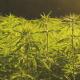 Texas smoke ban: A field of green hemp plants