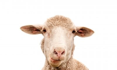 Hemp and sheep study