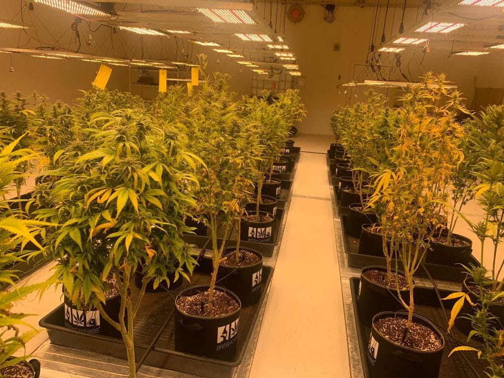 British cannabis group: A room of cannabis plants in rows under artifcial yellow lighting