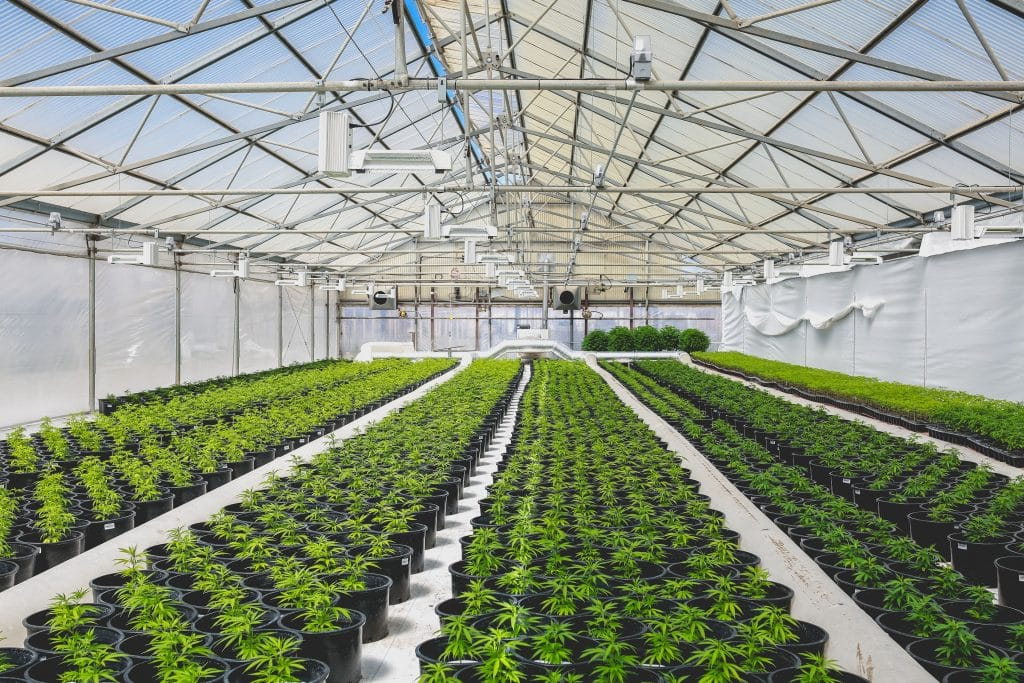 London: Rows of cannabis plants in a warehouse