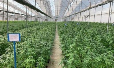 UK cannabis firm Avida Global