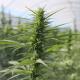 British cannabis
