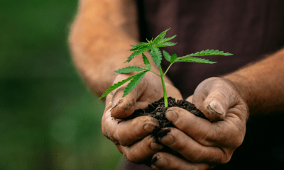 JuicyFields: A hand holding a small cannabis plant.