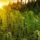JuicyFields: A golden sunset over a field of green hemp plants