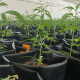 British cannabis Group: A series of green cannabis plants in a small black plastic bags in white grow room