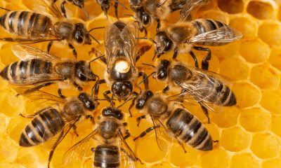 Bees: A swarm of bees on bright yellow honeycomb