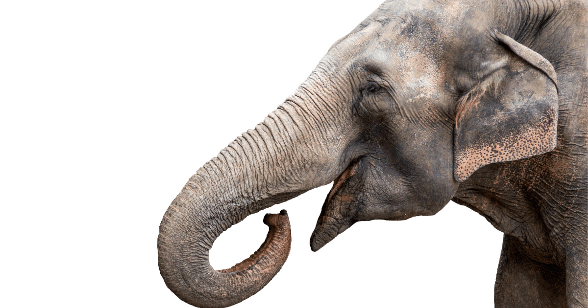 Large animals: A photo of a grey elephant with an open mouth against a white background