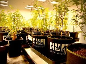 British cannabis: A row of cannabis plants in black pots with the British cannabis group pots